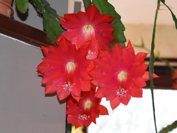 Epiphyllum - floraisons - Page 4 Epiphy10