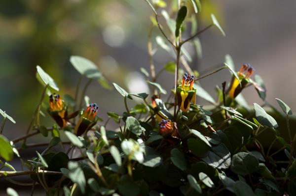 Fuchsia procumbens Fuchsi10