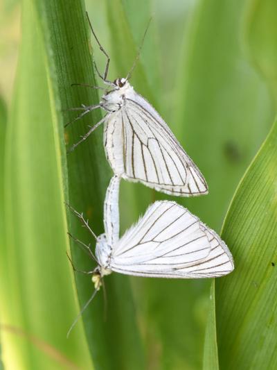 fil(et) à papillons - Page 11 Gazei10