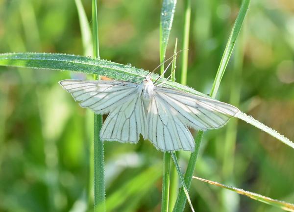 fil(et) à papillons - Page 11 Gazei_10