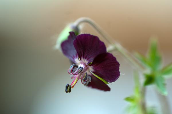 Geranium phaeum et cultivars Gerani10