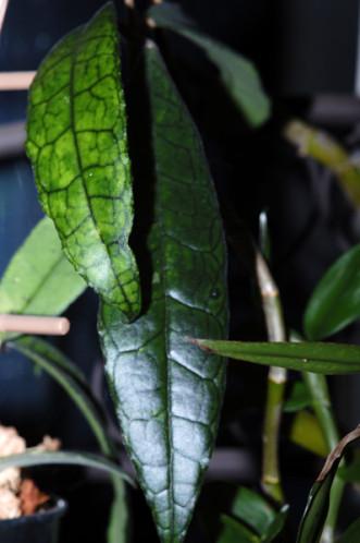 Hoya finlaysonii Hoya-f13