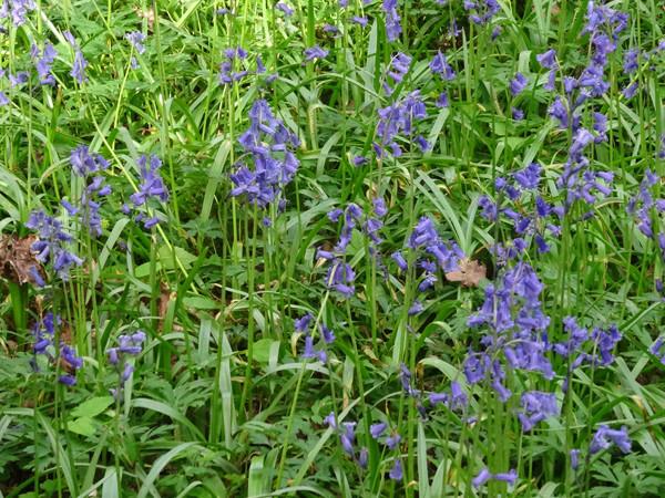 Hyacinthoides non-scripta - jacinthe des bois, jacinthe sauvage Hyacin12