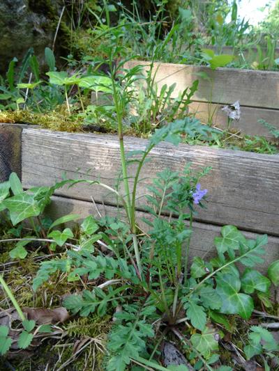 Scabiosa columbaria  [identification non confirmée] Inconn15