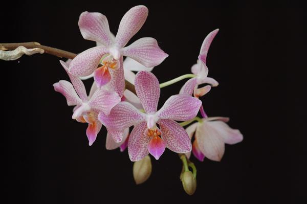 Phalaenopsis 'Janet Ragan' Janet_10