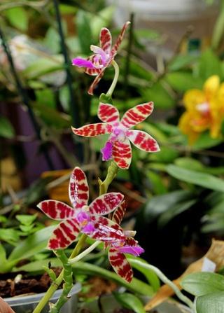 Phalaenopsis - hybrides primaires Karen10