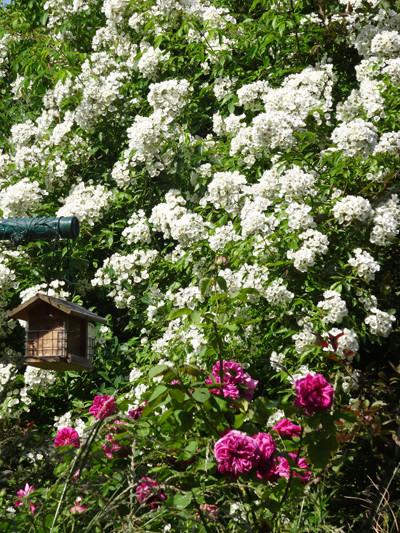 ces quelques fleurs de nos jardins - Page 3 Le_tem10