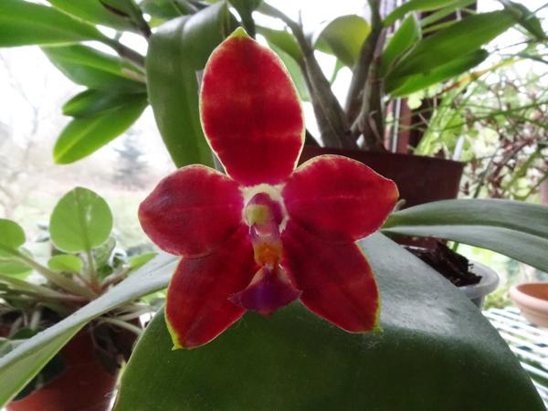 Phalaenopsis Mambo x Penang Girl Mambo_10