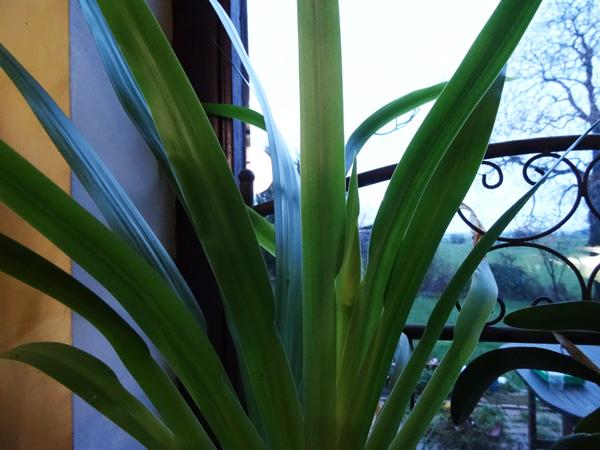 Neomarica gracilis - Page 3 Neomar10