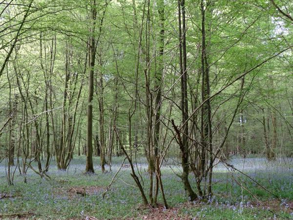 Hyacinthoides non-scripta - jacinthe des bois, jacinthe sauvage Ob_26110