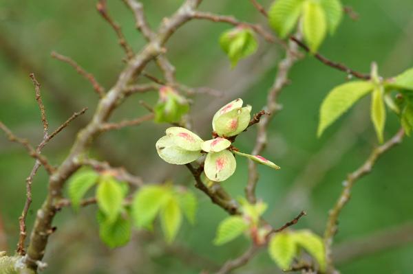 Ulmus parvifolia (= chinensis) - orme de Chine Ob_36f10