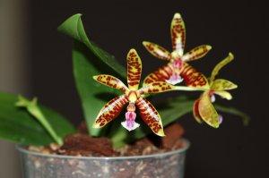 Phalaenopsis - hybrides primaires Ob_3b610