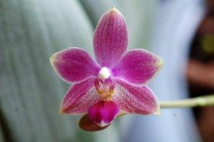 Phalaenopsis - hybrides primaires Ob_40110