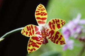 Phalaenopsis - hybrides primaires Ob_53f10