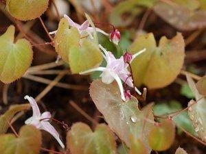 Epimedium - fleur des elfes  Ob_7f910