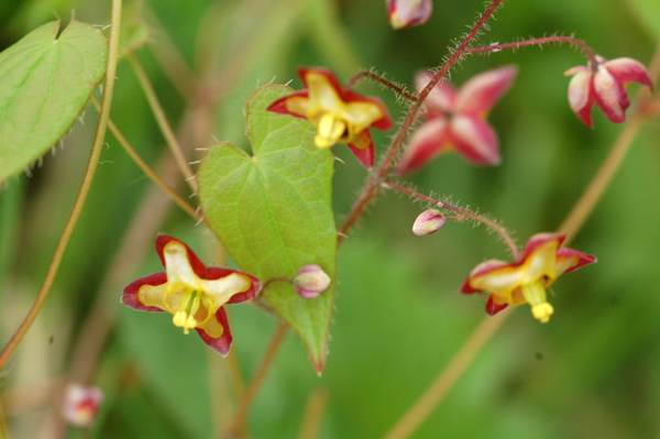 Epimedium - fleur des elfes  Ob_8b610