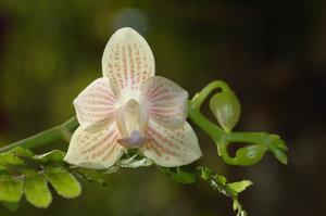 Phalaenopsis - hybrides primaires Ob_8ee10