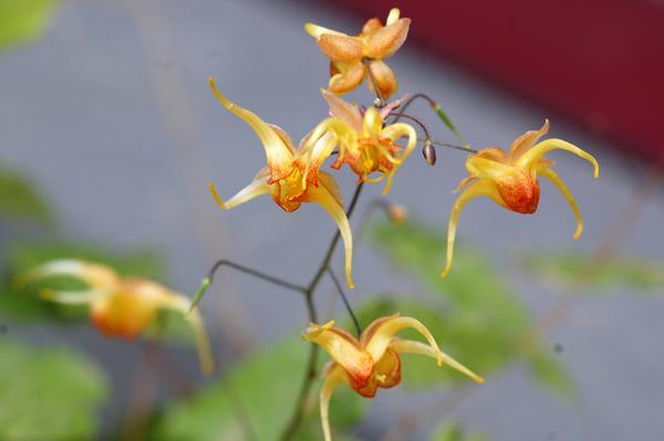 Epimedium - fleur des elfes  Ob_aab10