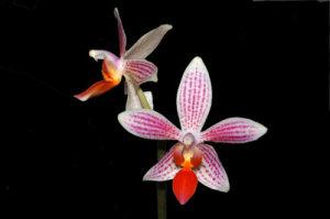 Phalaenopsis - hybrides primaires Ob_b3810