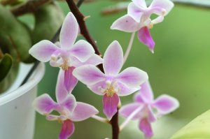 Phalaenopsis - hybrides primaires Ob_b7910