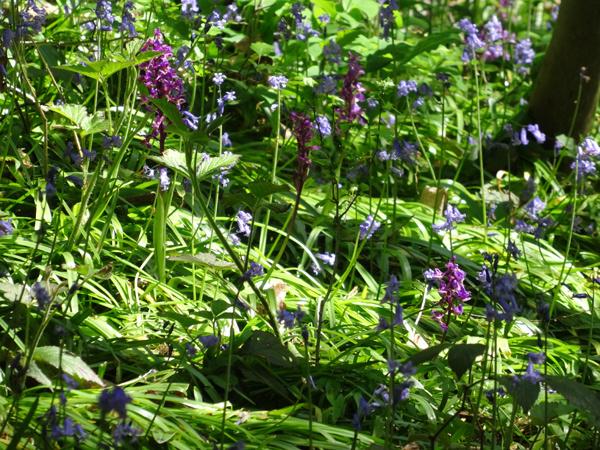 Hyacinthoides non-scripta - jacinthe des bois, jacinthe sauvage Ob_c8910