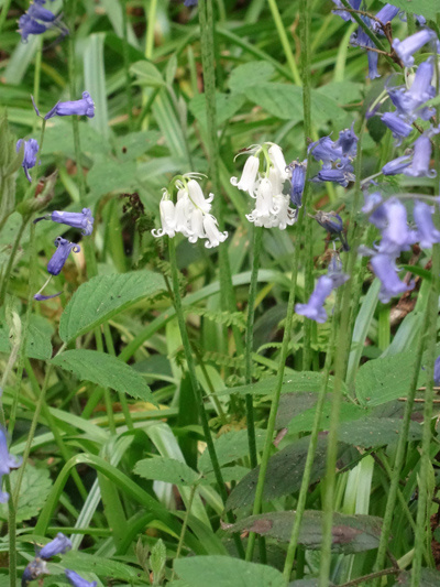 Hyacinthoides non-scripta - jacinthe des bois, jacinthe sauvage Ob_ce010