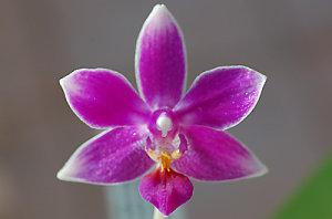 Phalaenopsis - hybrides primaires Ob_d6f10