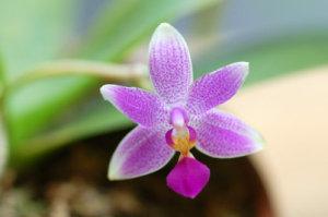 Phalaenopsis - hybrides primaires Ob_d7411