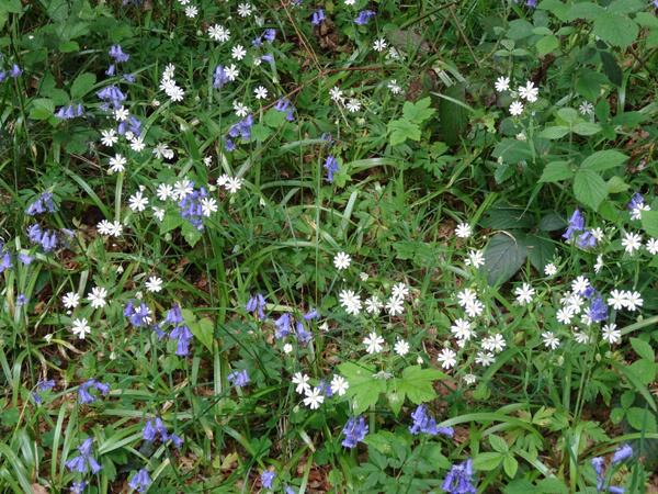 Hyacinthoides non-scripta - jacinthe des bois, jacinthe sauvage Ob_e7e10