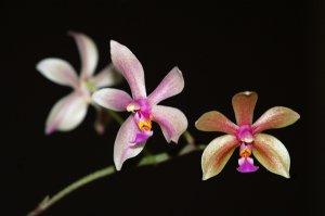 Phalaenopsis - hybrides primaires Ob_ec010