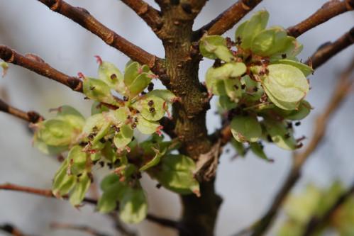 Ulmus parvifolia (= chinensis) - orme de Chine Orme10