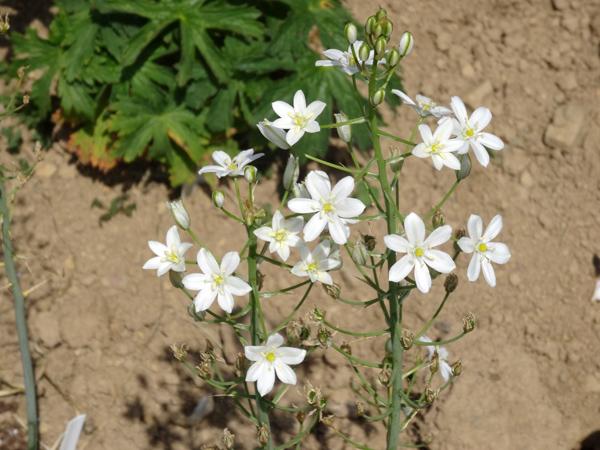 ces quelques fleurs de nos jardins - Page 3 Ornith10