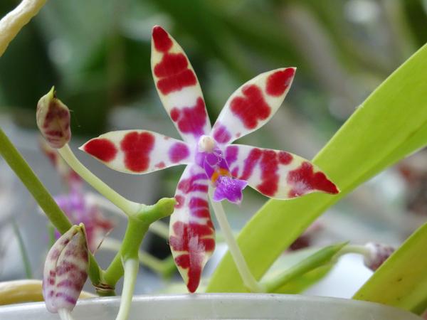 Phalaenopsis - hybrides primaires Phal_l11
