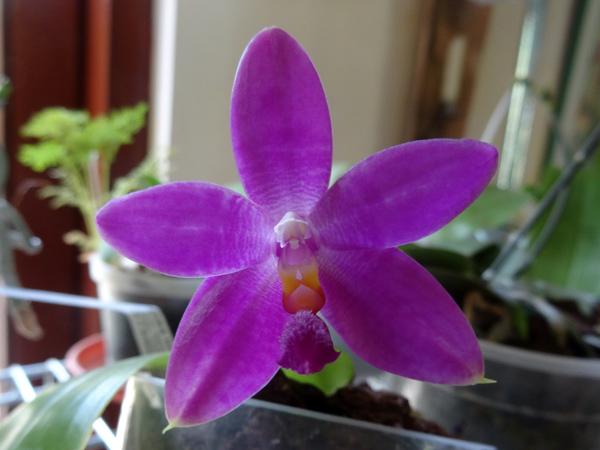 Phalaenopsis - hybrides primaires - Page 3 Phal_s10