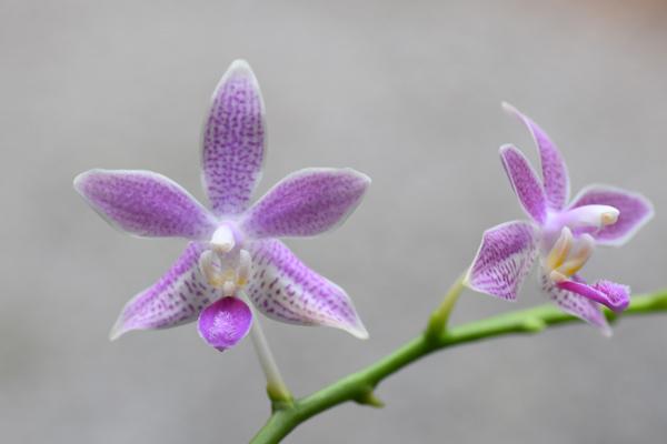 Phalaenopsis - hybrides primaires - Page 3 Phalae14