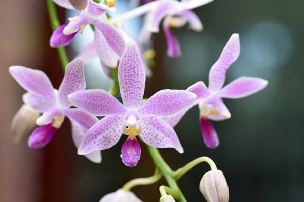 Phalaenopsis - hybrides primaires - Page 3 Phalae15