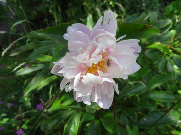 ces quelques fleurs de nos jardins - Page 3 Pivoin10