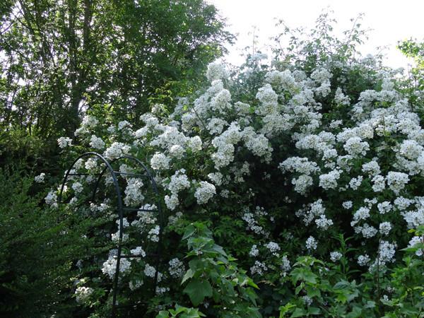 ces quelques fleurs de nos jardins - Page 3 Rosier10