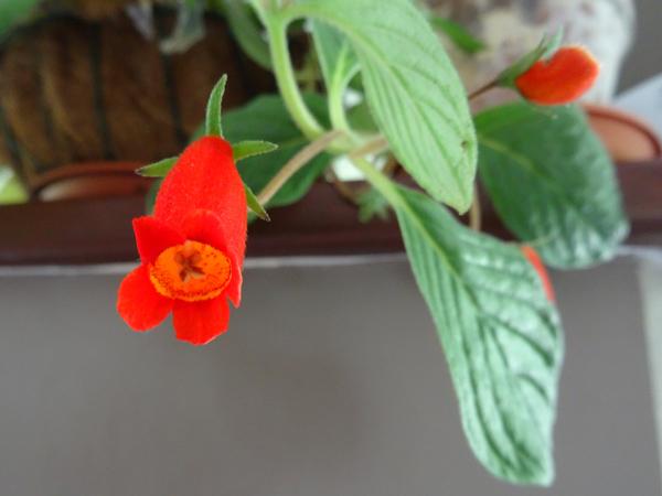 Seemannia - le genre Seeman10