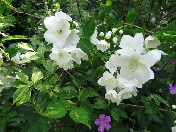 ces quelques fleurs de nos jardins - Page 3 Sering10