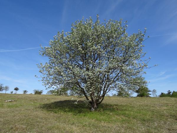 Sorbus aria - alisier blanc Sorbus10