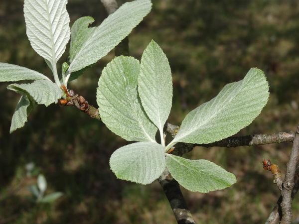 Sorbus aria - alisier blanc Sorbus11