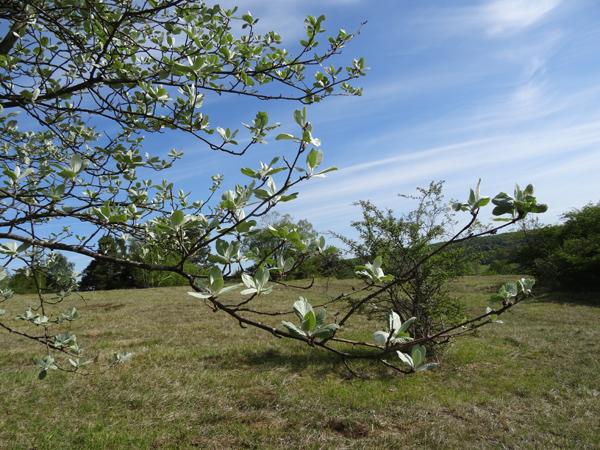 Sorbus aria - alisier blanc Sorbus12