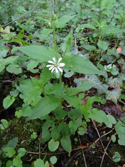 Stellaria nemorum - stellaire des bois Stella11