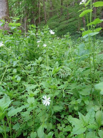 Stellaria nemorum - stellaire des bois Stella12