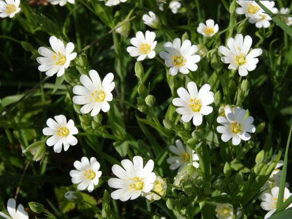 Stellaria holostea - stellaire holostée Stella13