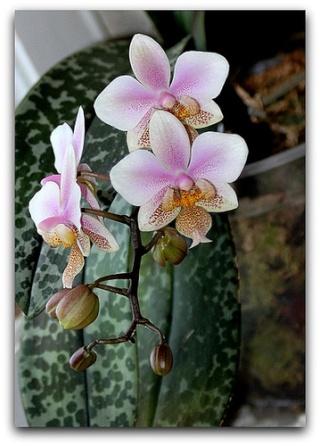 Phalaenopsis - hybrides primaires Wigana10