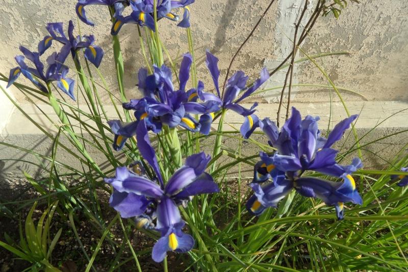 Les iris -culture, multiplication, entretien, variétés. - Page 3 04810