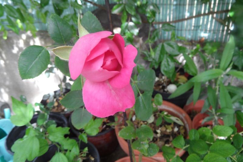 la multiplication des rosiers 08610