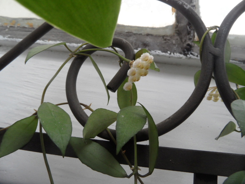floraison de Hoya lacunosa  Sam_3615
